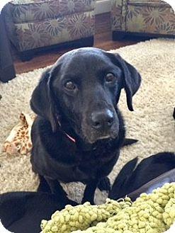 Labrador Retriever Mix Dog for adoption in New York, New York - Felicity