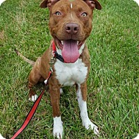 Pit Bull Terrier Mix Dog for adoption in Charlotte, North Carolina - Oscar