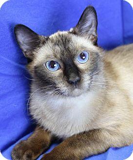 Siamese Cat for adoption in Winston-Salem, North Carolina - Sinbad