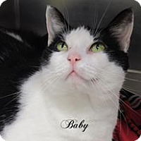 Domestic Shorthair Cat for adoption in Jackson, New Jersey - Baby