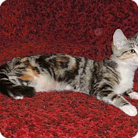Adopt A Pet :: CHANTILLY-AFFECTIONATE BEAUTY - Plano, TX