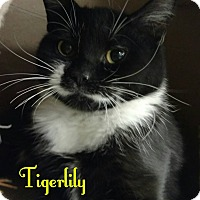 Domestic Shorthair Kitten for adoption in Bensalem, Pennsylvania - Tiger Lily