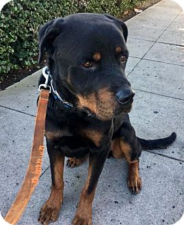 Rottweiler Dog for adoption in Newport Beach, California - Jefferson