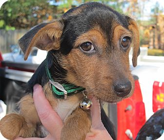 Dachshund/Yorkie, Yorkshire Terrier Mix Puppy for adoption in Harrisonburg, Virginia - Sleigh Belle