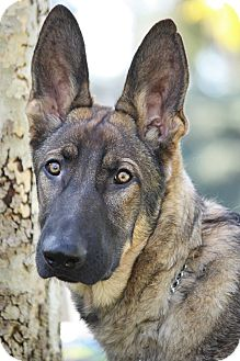 German Shepherd Dog Puppy for adoption in Los Angeles, California - Trevor von Torme