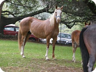 Quarterhorse/Grade Mix for adoption in El Dorado Hills, California - Willow