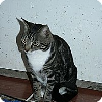 Domestic Shorthair Cat for adoption in Santa Rosa, California - Jasper
