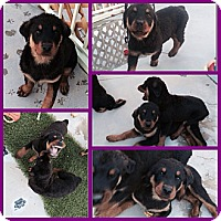 Adopt A Pet :: eenie, meanie, minie - Gilbert, AZ
