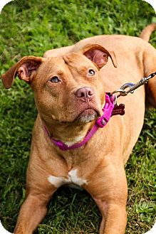 American Staffordshire Terrier/American Bulldog Mix Dog for adoption in West Allis, Wisconsin - Hannah