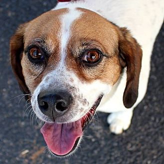 Beagle Mix Dog for adoption in Hopkinsville, Kentucky - Aimee