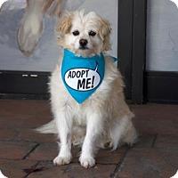 Adopt A Pet :: Timmy SpaniePoo - Pacific Grove, CA