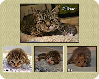 Domestic Shorthair Cat for adoption in Oyster Bay, New York - Mallomar