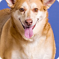 Shepherd (Unknown Type)/Collie Mix Dog for adoption in Owensboro, Kentucky - Sweet Pea