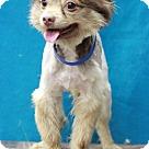 Adopt A Pet :: Cavalier