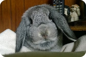 Mini Lop for adoption in Seattle c/o Kingston 98346/ Washington State, Washington - Jynx
