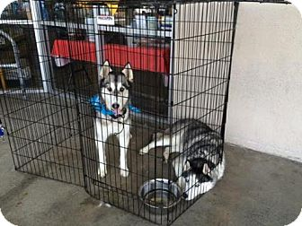Siberian Husky Dog for adoption in Glendora, California - Bravo