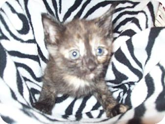 Domestic Shorthair Kitten for adoption in Gulfport, Mississippi - Ivy(Foster hero needed)