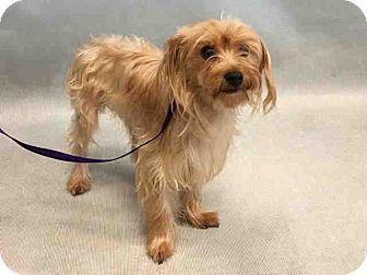 Yorkie, Yorkshire Terrier Mix Dog for adoption in Bernardston, Massachusetts - Isaiah