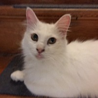 Domestic Mediumhair Cat for adoption in Delmont, Pennsylvania - Leah