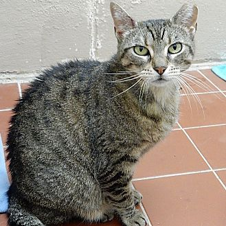 Domestic Shorthair Cat for adoption in Long Beach, New York - Roxanne