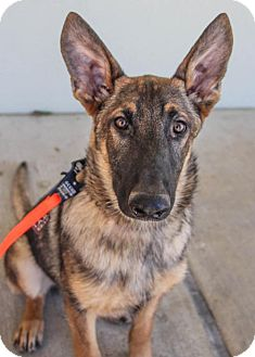 German Shepherd Dog Puppy for adoption in Pipe Creed, Texas - Cade