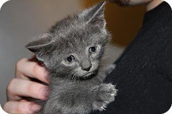 Domestic Shorthair Kitten for adoption in Minneapolis, Minnesota - Morticia