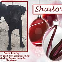 Adopt A Pet :: Shadow - Ringwood, NJ