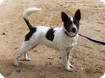 Australian Cattle Dog Jack Russell Terrier Mix Puppy Australian cattle ...