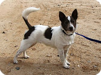 rat terrier australian cattle dog mix pilot adoption pending adopted puppy phoenix az 4606