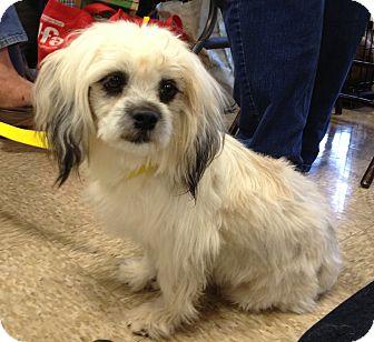 Lhasa Apso Mix Dog for adoption in Phoenix, Arizona - Chucky