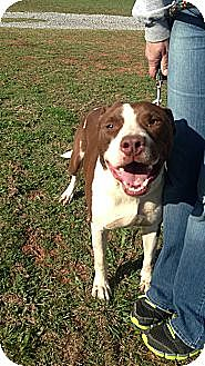 American Pit Bull Terrier Mix Dog for adoption in Blanchard, Oklahoma - Willy