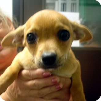 Chihuahua Mix Puppy for adoption in baltimore, Maryland - Rudy