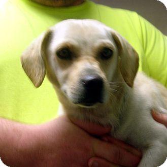 Labrador Retriever & Dachshund Mix