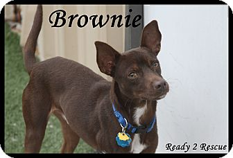 Miniature Pinscher/Rat Terrier Mix Puppy for adoption in Rockwall, Texas - Brownie