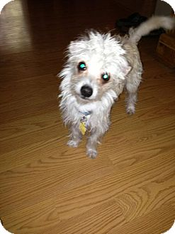 Chinese Crested/Maltese Mix Puppy for adoption in Las Vegas, Nevada - Miles