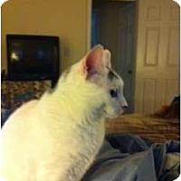 Adopt A Pet :: Miss Kitty - Chesapeake, VA