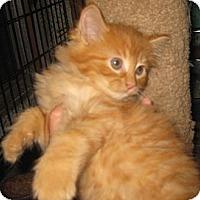 Adopt A Pet :: Furling - Dallas, TX