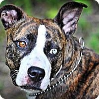 Adopt A Pet :: Carmella- Courtesy Listing - Fredericksburg, VA