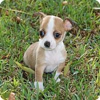Adopt A Pet :: Rudy - La Habra Heights, CA