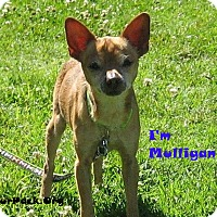 Adopt A Pet :: Mulligan - San Jose, CA