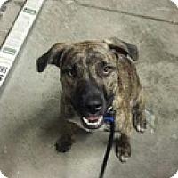 Adopt A Pet :: Bolt - Sacramento, CA