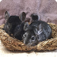 Adopt A Pet :: Hoppy - Fountain Valley, CA