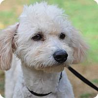 Adopt A Pet :: Chloe - Tumwater, WA