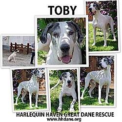 Photo 4 - Great Dane Dog for adoption in Bethel, Ohio - Toby