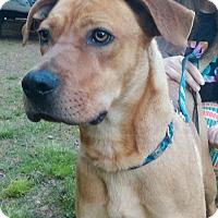 Adopt A Pet :: Winston - Lebanon, CT