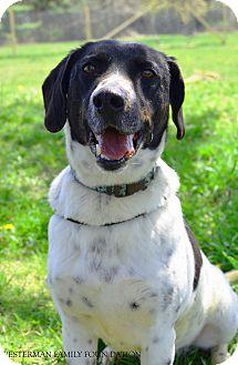 Pointer/German Shepherd Dog Mix Dog for adoption in Delaware, Ohio - Maverick