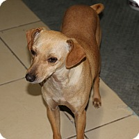 Terrier (Unknown Type, Small) Mix Dog for adoption in Pleasanton, California - Sanji