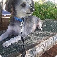 Adopt A Pet :: Bebe - Las Vegas, NV