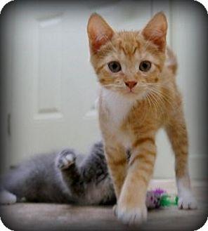 American Shorthair Kitten for adoption in Big Canoe, Georgia - Sonny