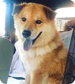 Chow Chow Mix Dog for adoption in Savannah, Georgia - Bucky